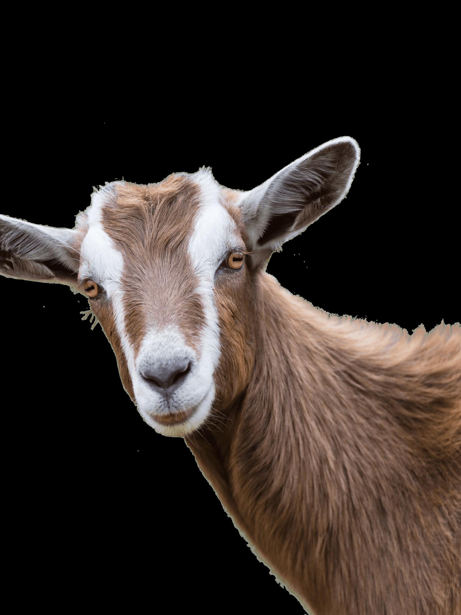 brown-goat-1